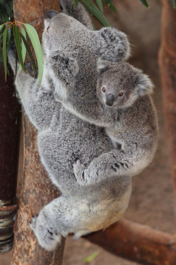 best 25 baby koala ideas on pinterest cute koala bear