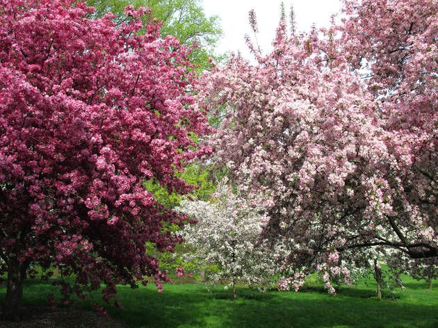 The Best Places To See Cherry Blossoms In Nyc Beautiful Gardens Brooklyn Botanical Garden Japanese Garden Design