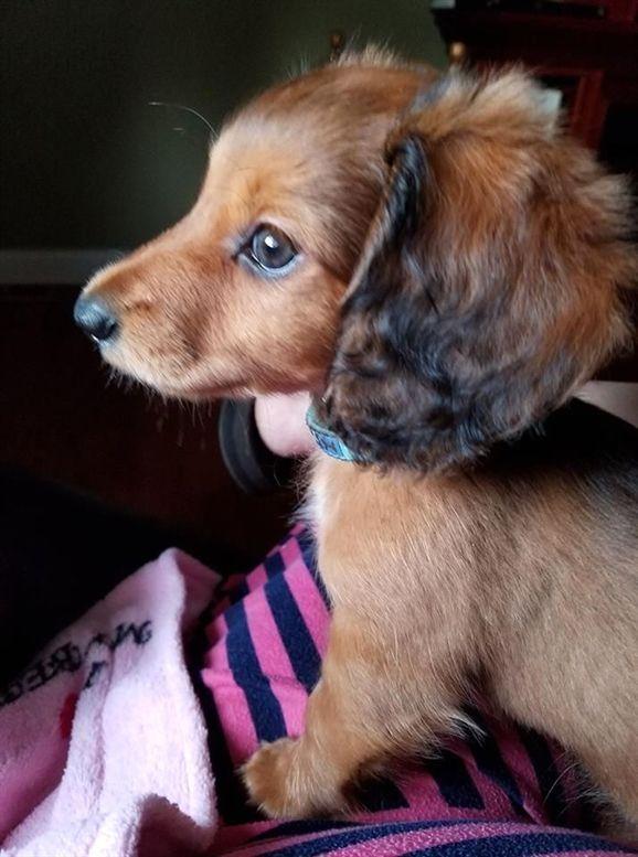 Like A Princess Puppy Dachshund Doxiedog Doxiepuppy Chiweenie