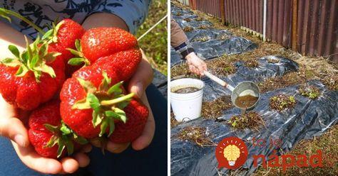 Poistite si bohatú úrodu jahôd a stavte na overený tip, ako stimulovať rastliny tak, aby nám priniesli bohatú úrodu plodov a plodili čo najdlhšie. Nepotrebujete umelé hnojivá z obchodu plné chémie, poradíte si aj s radami našich predkov.