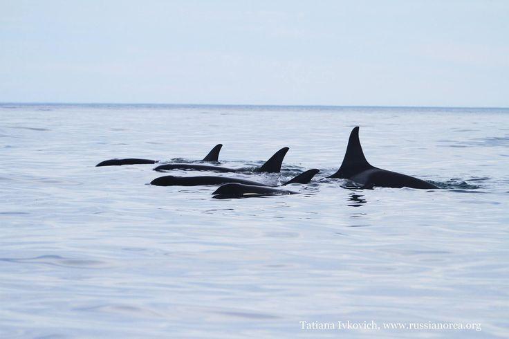 Orcas sleeping in Avacha Gulf of Kamchatka, summer 2016.