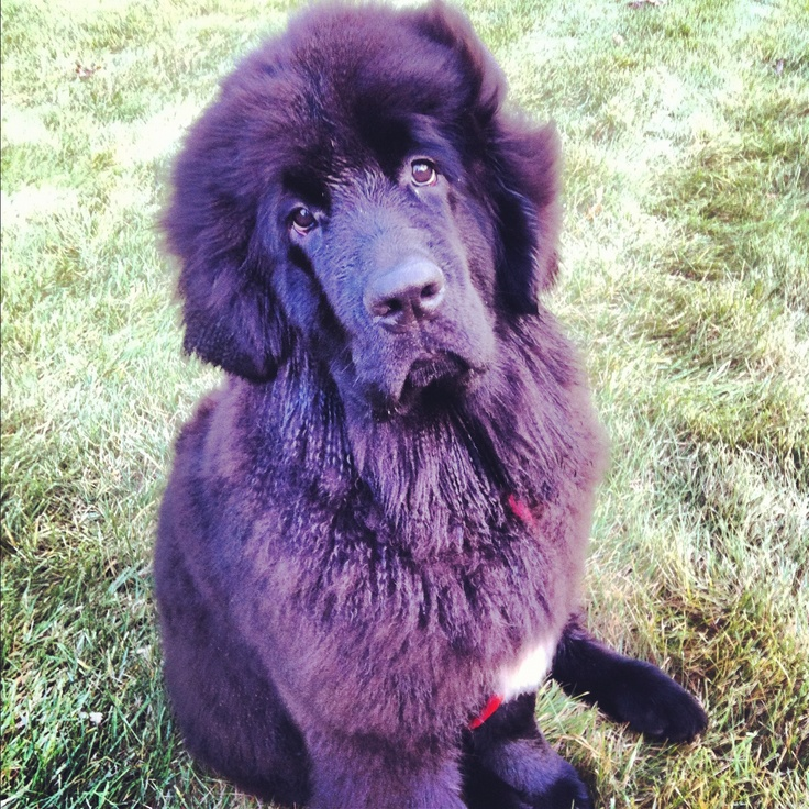 Windswept newf puppy: Newf Puppies, Noble Newfoundland, Windswept Newf