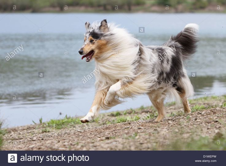 dog-rough-collie-scottish-collie-adult-blue-merle-running-on-the-edge-D1WEPW.jpg (1300×956)
