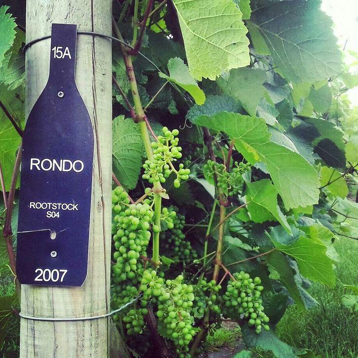 Young Rondo grapes growing at Yorkshire Heart Vineyard.