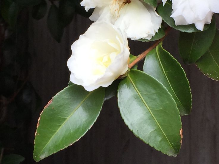 White flowering Camelias such as Early Pearly, Avalanche or Little Liane