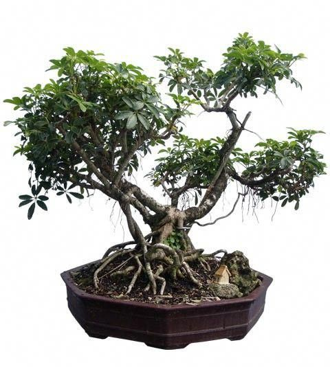 Hawaiian Umbrella Bonsai Tree 26