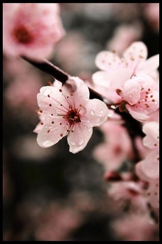 Cherry Flower, Sakura ou Flor de Cerejeira.