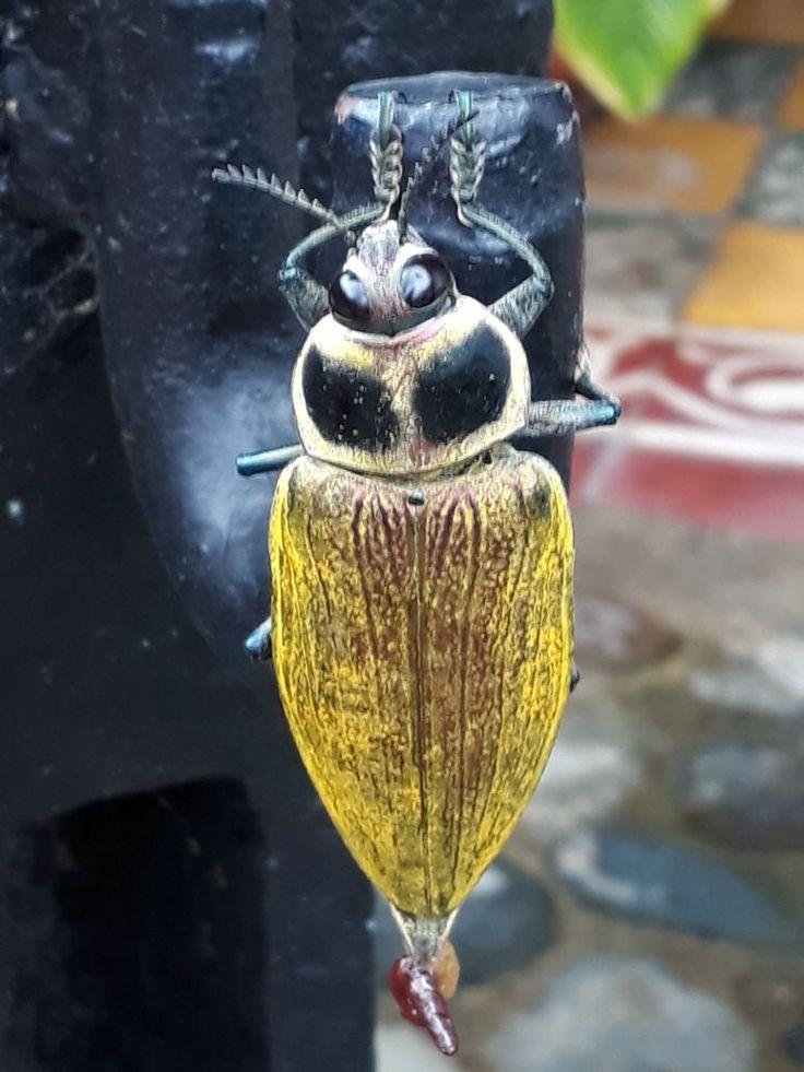 Coleóptera Buprestidae