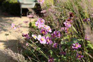 Zawilce  czyli anemony - nieocenione byliny późnego lata i jesieni