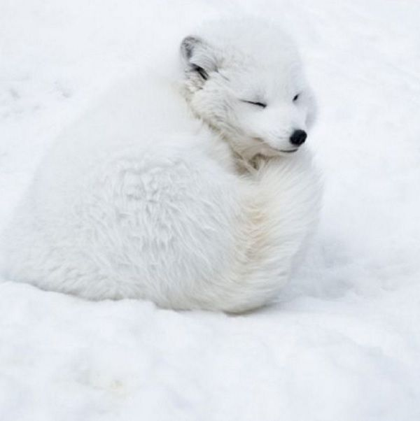 arctic fox cute white - photo #14