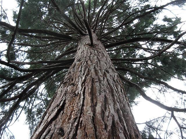Sequoia sempervirens, University of WA campus.