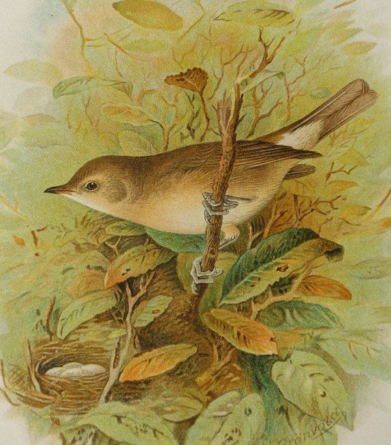 1890 Antique lithograph of a GARDEN WARBLER by AntiquePrintsOnly