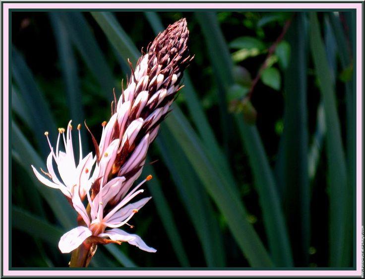Fleur asphodele arrondeau quiberon le22 avril 046