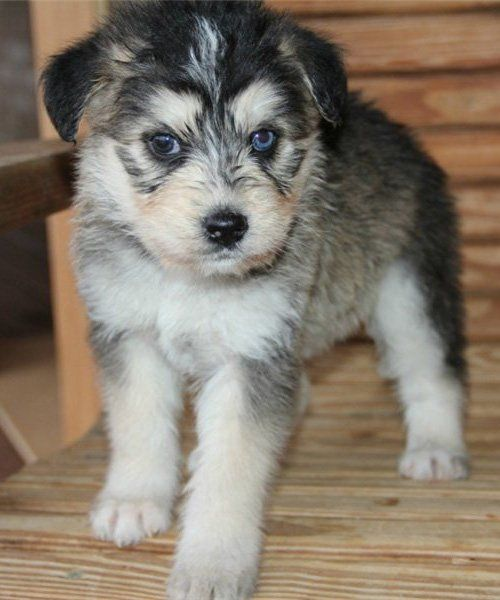 The Siberpoo is a designer breed created by mixing a Siberian Husky with a Poodle.