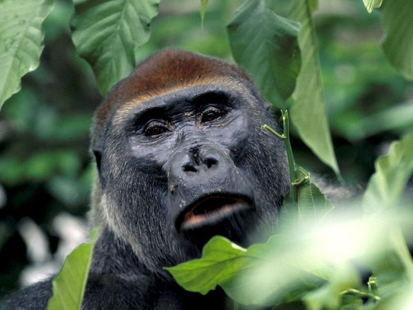 Photo: A western lowland gorilla looking toward the camera