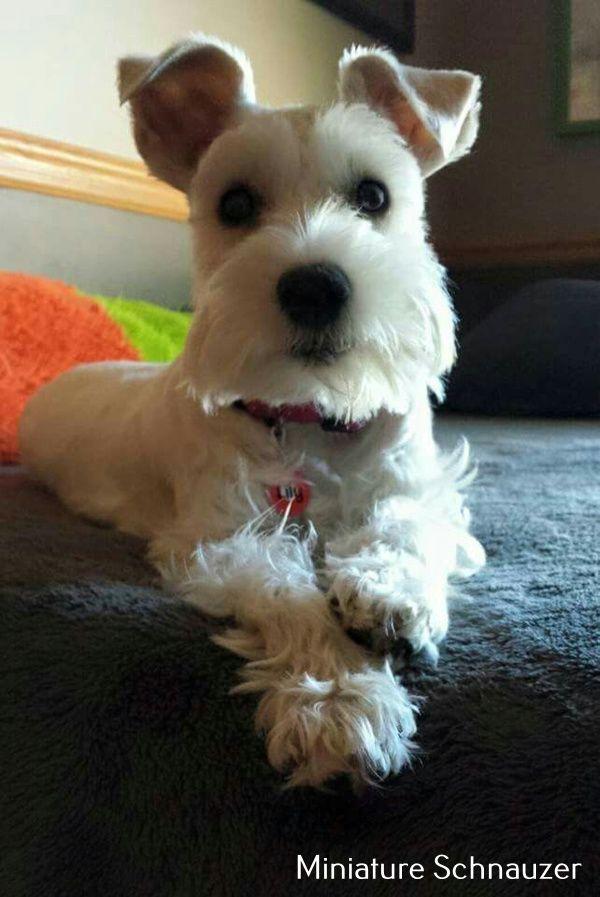Miniature Schnauzer Facts Dog Breeds Schnauzer Puppy Miniature