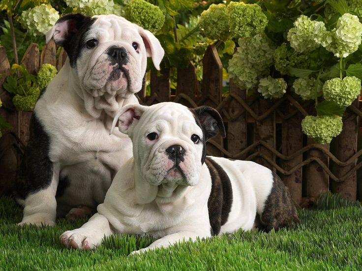 List Different Types of Bulldogs Breeds