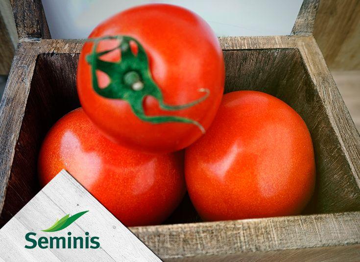 Conoce nuestra variedad de #tomate saladette DRD8549 #Seminis.