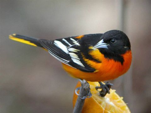 Baltimore Oriole, May 2004.  We had a late snow in April so there wasn't much food available for any birds. They stayed for about 3 weeks. This is the first time I saw them in my yard and never since.