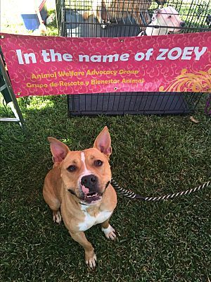 Pictures of Buddy a Staffordshire Bull Terrier for adoption in Houston, TX who needs a loving home.