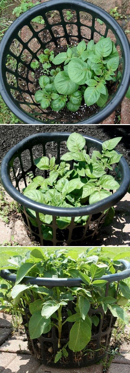"""I bought the laundry baskets at a local dollar store (I have 2 baskets). I filled the baskets with about 2"""" of soil & compost, then put a seed potato into each basket (each potato was cut...."""