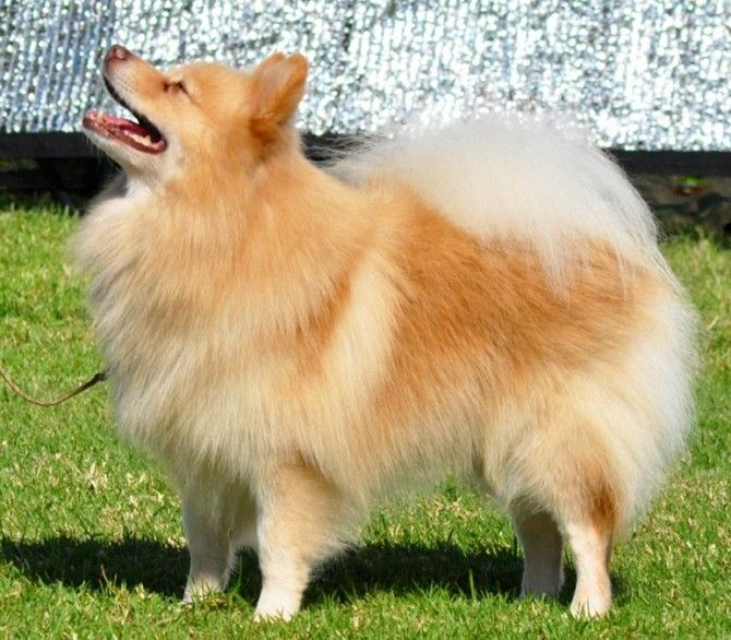 german spitz mittel | German Spitz Mittel. Image provided by Borndownunda Kennels.
