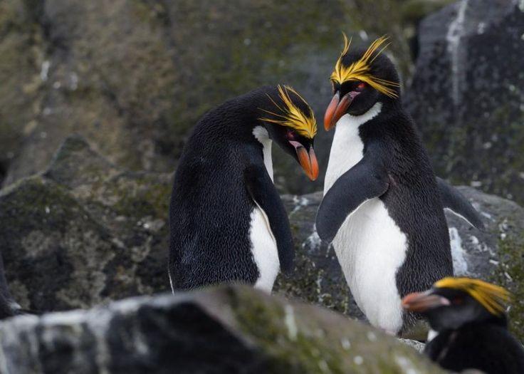 Eudyptes chrysolophus / Pingüino Macarrones/ Macaroni Penguin / Gorfou doré/Goldschopfpinguin