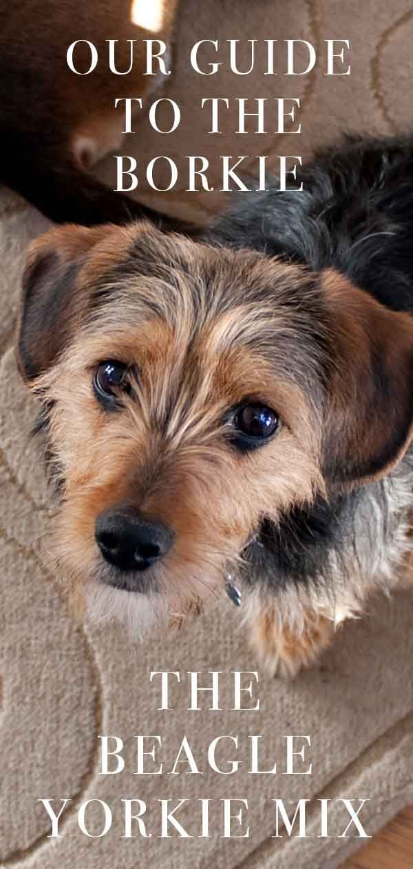 Beagle Yorkie Mix Meet The Borkie Dog Breeds Yorkie Beagle Dog