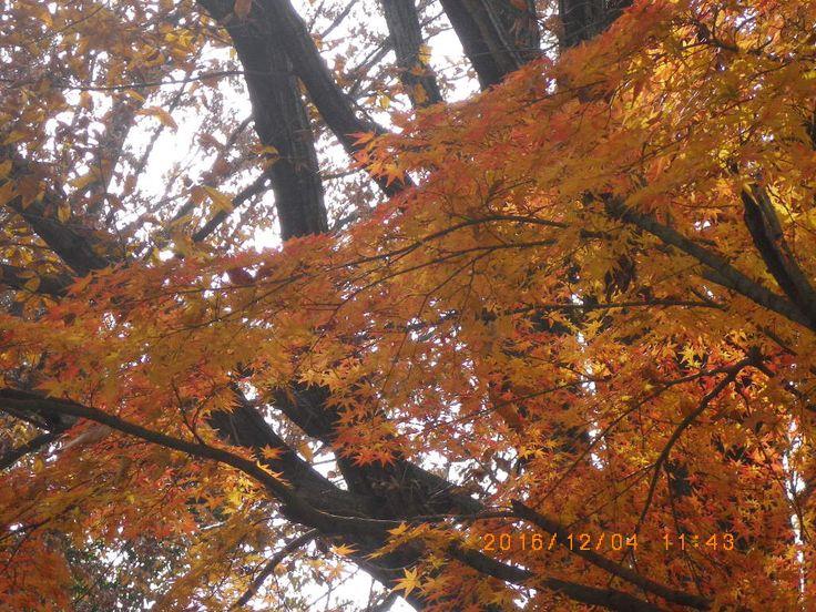 #my photo #Nature is beautiful #maple