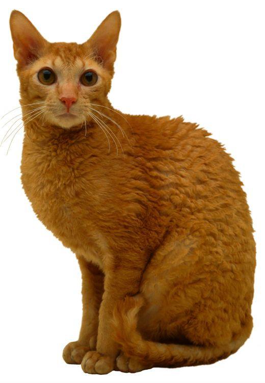 Cornish rex cat  This ...
