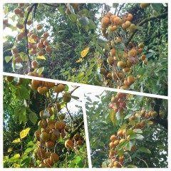家の隣の柿の木にまぁーたわわに実った柿の実がビックリです(@_@)甘いのかな tags[熊本県]