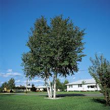 Whitespire Birch- Mother plants of this strain have survived over 30 years without any sign of birch borer. Extremely fast growing, reaching a height of 30 to 40 feet with an attractive pyramidal form, pure white bark, and glossy, dark green leaves. It has withstood temperatures ranging from 100 degrees to -30 degrees F, and is adaptable to a wide range of soil types. For an attractive birch clump plant 3 to 5 trees in a group.