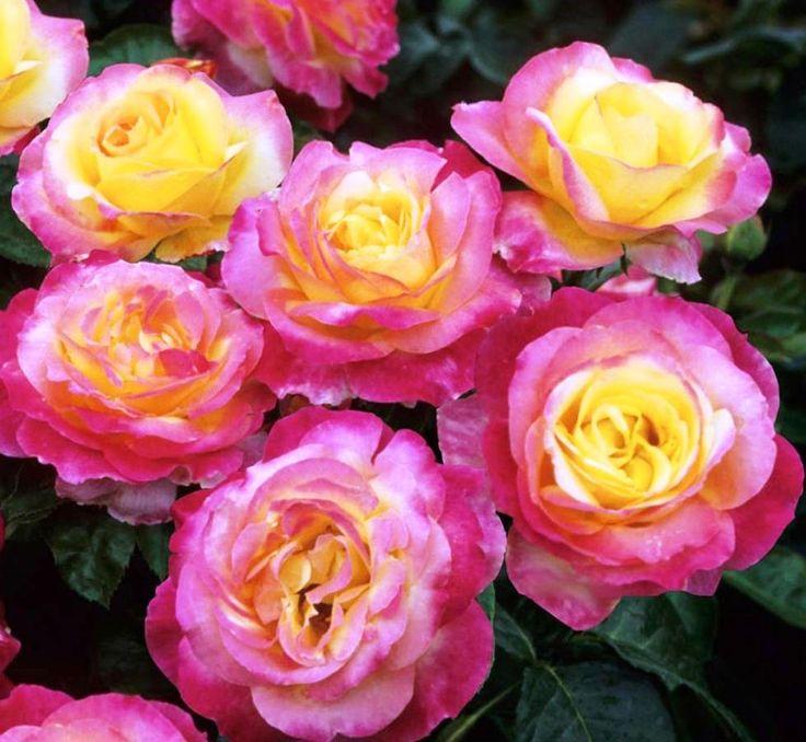Спрей розы саженцы купить осень 2014 доставка цветов через межгород