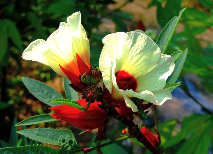 "15 graines Roselle ""Hibiscus sabdariffa"" Jamaican Sorel seeds samen | Jardin, terrasse, Plantes, graines, bulbes, Autres | eBay!"
