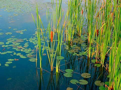 1000 images about cattails on pinterest window clings for Pond plants that survive winter