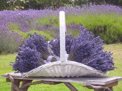 lavender whidbey island   LAVENDER WIND FARM: A MUST-SEE PLACE IN CENTRAL WHIDBEY ISLAND