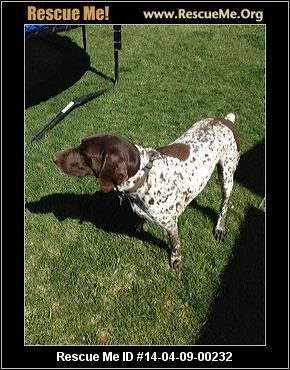 Brownie in Sparks― Nevada German Shorthaired Pointer Rescue ― ADOPTIONS ―RescueMe.Org