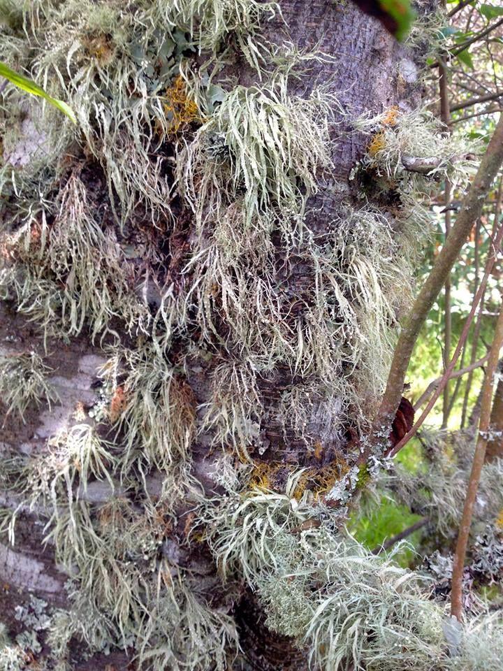 Aliso. (Alnus acuminata Kunth).