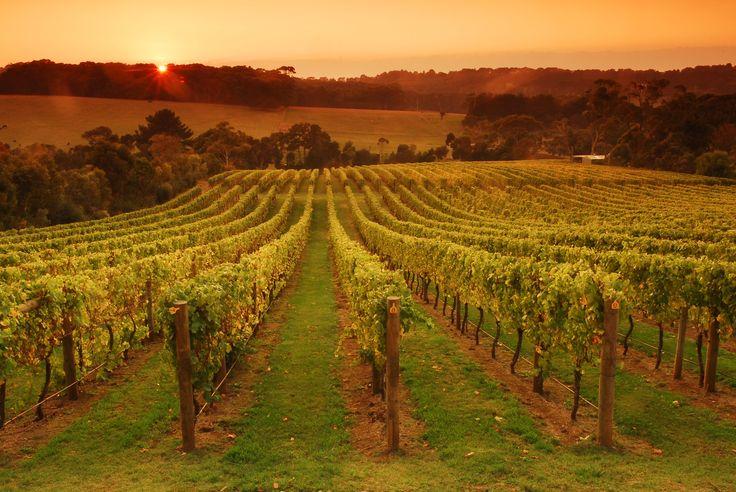Wine Food Farmgate Trail. Morning Sun Vineyard, Mornington Peninsula
