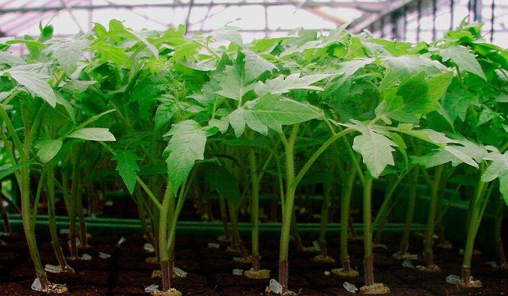 Рассаду помидоров поливают раствором йода для более быстрого роста (1 капля на три литра). После применения этого раствора рассада зацветёт быстрее, а плоды будут крупнее. Может йод защитить помидоры…