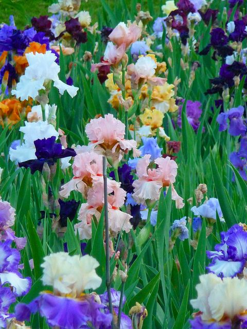 Irises - Presby Memorial Iris Garden, Montclair, NJ. Photo: Dave Aragona, via Flickr