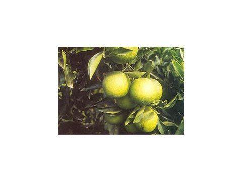 Naranjas Valencia Delta. Disponible en cajas de 5, 10 y 15 Kg
