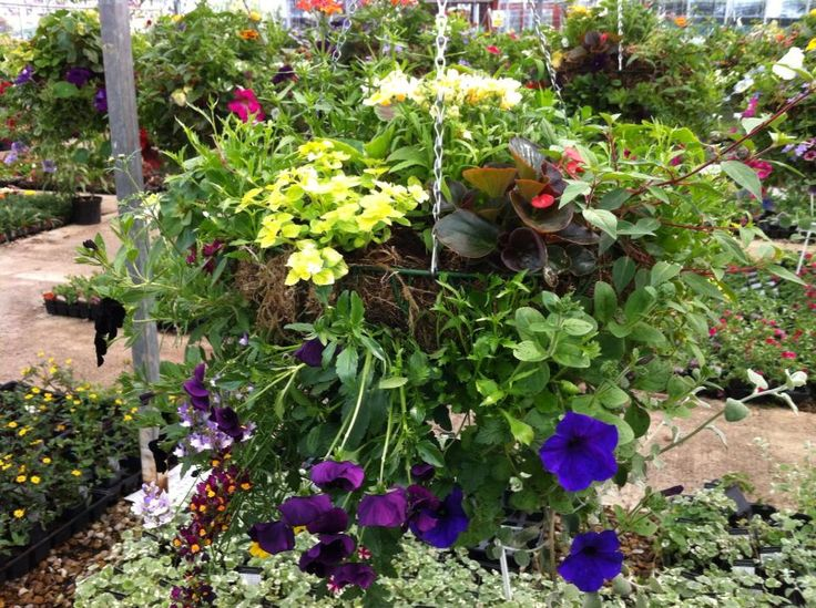 If you have ever wondered why so many people choose us for hanging baskets, well, here is the answer...