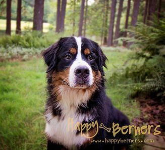 HAPPY BERNERS | AKC Bernese Mountain Dogs | RESCUE WORK