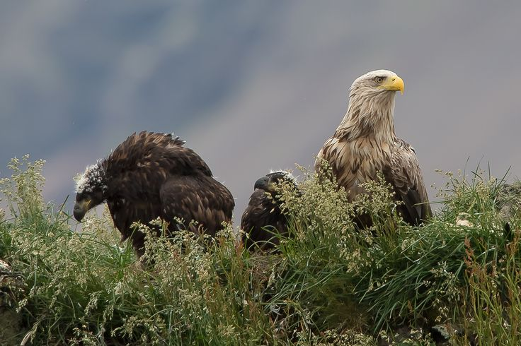 https://flic.kr/p/oBGaBq   White-tailed Eagle (Haliaeetus albicilla)   The White-tailed Eagle (Haliaeetus albicilla), also known as the Sea Eagle, Erne (sometimes Ern), or White-tailed Sea-eagle, is a large bird of prey in the family Accipitridae  which includes other raptors such as hawks, kites, and harriers. It is considered a close cousin of the Bald Eagle and occupies the same ecological niche, but in Eurasia.