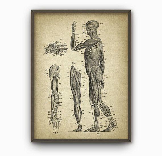 Kraftprotz Jahrgang Anatomie Wand Kunst Poster #3 - anatomische Position der Muskeln - physikalische Therapie - Physiotherapie - Ergotherapie  Dieser Jahrgang Abbildung wurde Digital verbessert und ist mit hochwertigen archival Tinten auf eine schöne Archivpapier mit eine glatte, Matte Oberfläche gedruckt. Ein fantastisches Geschenk oder eine fabelhafte Ergänzung zu Ihnen nach Hause!  Bitte wählen Sie zwischen verschiedenen Größen…