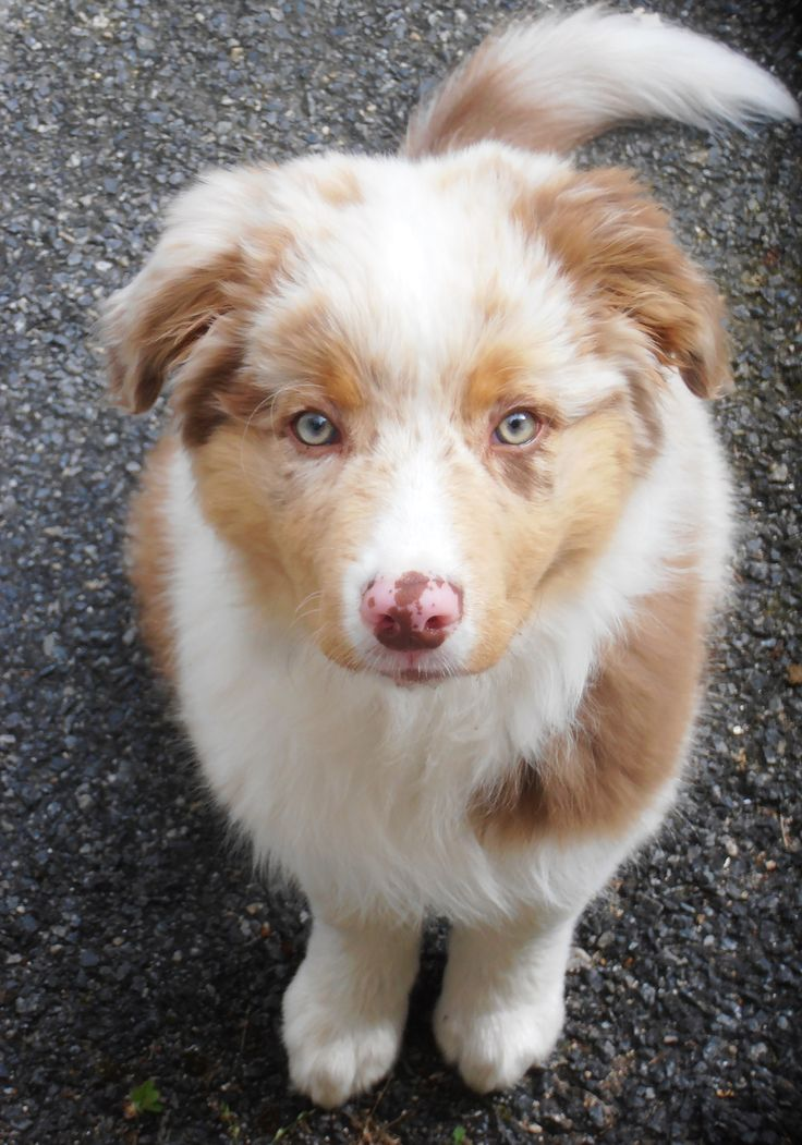 Australian shepherd red merle puppy