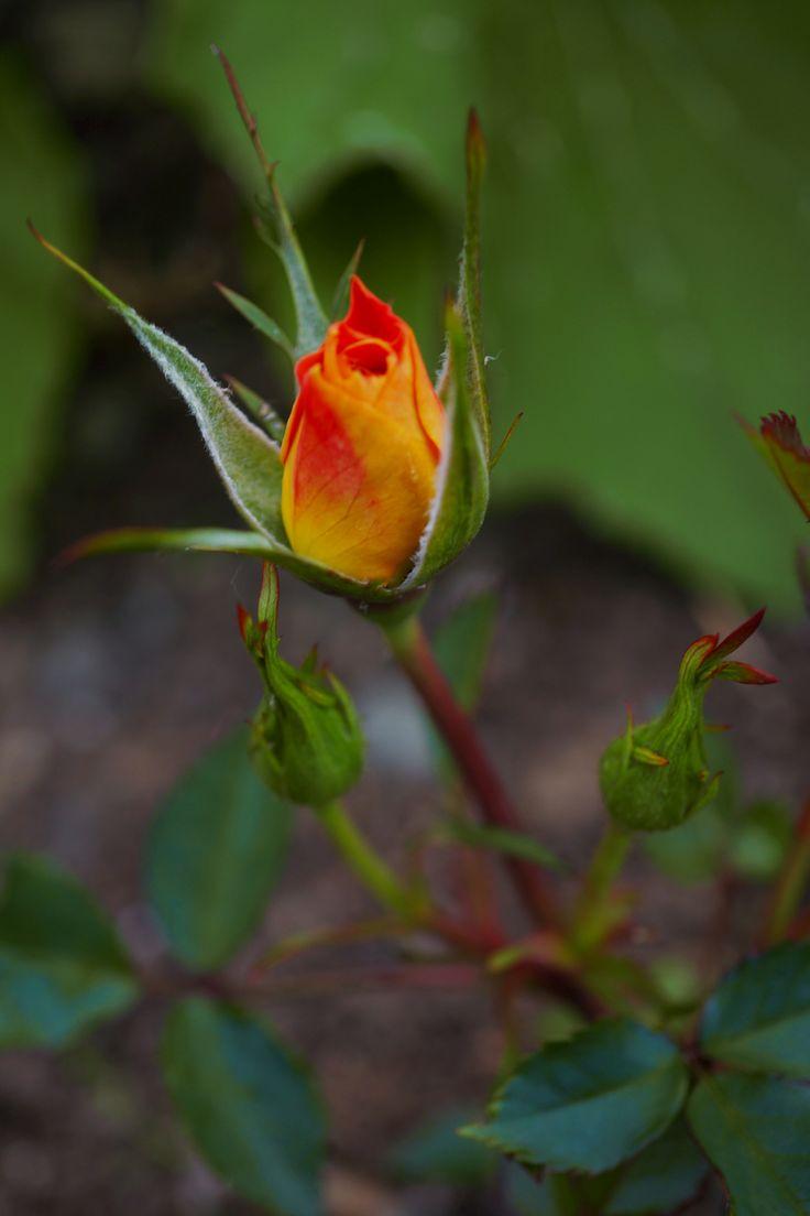 """Rose """"Mandarin"""""""