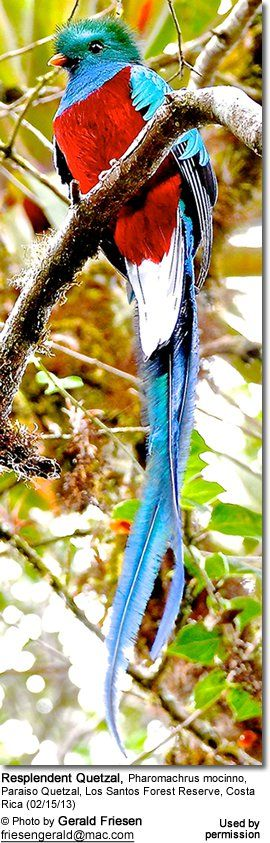 "Many count Quetzal among the most beautiful and ornate bird species in the Western Hemisphere, and the natives were so awestricken by their striking beauty that they referred to them as ""The Rare Jewel Birds of the World."""