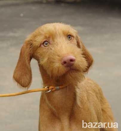 П-к «Киевские Каштаны» предлагает подрощенных щенков венгерской жесткошерстной выжлы. на продажу кобели, возраст 7 мес, щенки полностью привиты,...